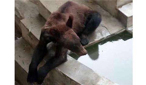河南一动物园棕熊瘦骨嶙峋 园方:仍属正常范围