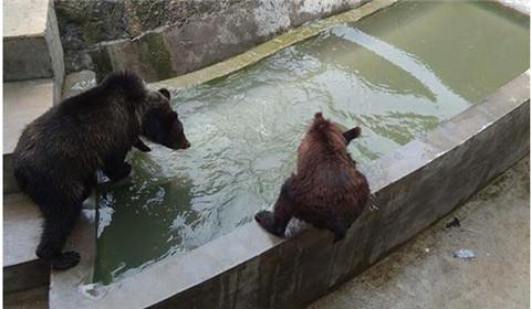 郑州一位动物保护人士表示,新乡市人民公园动物园的这头棕熊体型明显