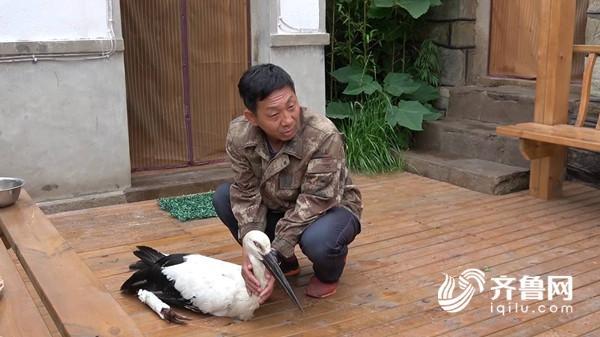 清晨四点,到地里干活的砣矶北村村民赵乐成发现了一只受伤的东方白鹤。这只大鸟高约120厘米高,白色的身子,黑色的尾巴,眼睛警觉的看着周边情况,非常有灵性。据赵乐成描述,发现白鹤时,它的腿已经断了。赵乐成立即上报镇里,当地迅速联系了卫生院的医生赶到现场,经检查发现鸟的腿部已经受伤骨折,大家立即将它转移到卫生院进行救治。